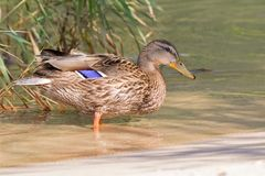 Female mallard, mottled wild duck, with brown speckled plumage s. Tanding in crystal clear lake water of Achensee, Achen Lake during Autumn in Tyrol, Austria Royalty Free Stock Image