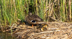 Free Female Mallard On Reedbed With Two Week Old Chicks Ducklings Stock Photography - 186198992