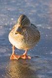 Female Mallard On The Ice Stock Photography