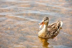 Female mallard with open mouth in a lake. Female mallard with mouth wide open floating in a lake Stock Photos