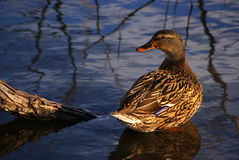 Female Mallard on Pond Stock Photos