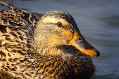 Female Mallard Portrait. A close-up of a female Mallard duck swimmimg in a pond Royalty Free Stock Image