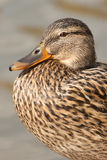 Female mallard portrait. It is the portrait of a female mallard Royalty Free Stock Photography