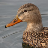 Female Mallard Portrait Royalty Free Stock Photo