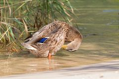 Female mallard preening standing in crystal clear lake water of. Female mallard preening, mottled wild duck, with brown speckled plumage standing in crystal Royalty Free Stock Image