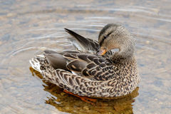 Female Mallard. Preening on the water Royalty Free Stock Images