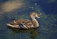 Female Mallard quacking Stock Photo