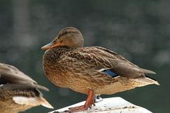 Female mallard resting Royalty Free Stock Photos