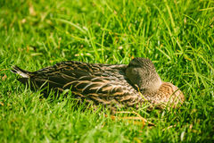 Female mallard resting on grass. Close up of female mallard resting on grass Stock Photo