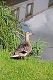 Female Mallard on riverbank, Barton-under-Needwood. Stock Image