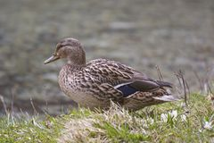 Female mallard snaps near a lake. Female mallard snaps on the shore of a small lake Royalty Free Stock Photography