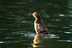 Female mallard splashing water. On lake ( Anas platyrhynchos Stock Photos