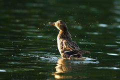 Female mallard splashing water Stock Photos