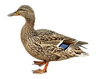 Female Mallard, standing in front of white Stock Photos