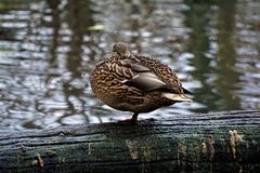 Female mallard standing on one leg stock photography