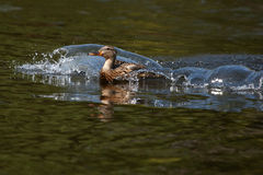 Female Mallard swimming. Female Mallard coming in for a landing Royalty Free Stock Photos