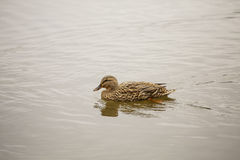 Female Mallard Swimming. A female mallard swimming in a calm lake Stock Photography