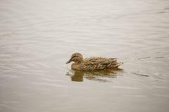 Female Mallard Swimming Stock Photography