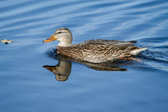 Female Mallard Swimming around. Her hunting area Royalty Free Stock Photos