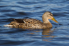Female Mallard Swimming around her hunting area.  Royalty Free Stock Photos