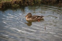 Female mallard swimming in a ditch in waddinxveen in the Netherl. Ands Stock Images