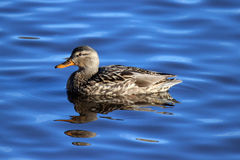 Female Mallard Swimming Royalty Free Stock Images