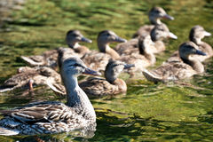 Female Mallard swimming with her family. A female Mallard duck swimming with her ducklings in the late afternoon sun, giving the water a greenish color Royalty Free Stock Photos