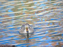 Female Mallard swimming in lake, Anas platyrhynchos Royalty Free Stock Photos