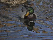 Female Mallard swimming in lake, Anas platyrhynchos Stock Photos