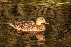 Female mallard swimming on lake Stock Photo