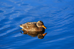 Female mallard swimming Stock Images