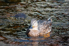 Female Mallard. Swimming in the shallow water Stock Photos