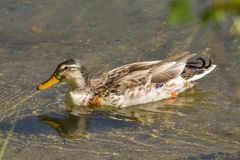 Female mallard swimming in the transparent water royalty free stock images