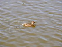 Female mallard swims on the river outside the city. spring Sunny day. beautiful young drake. Female  mallard swims on the river outside the city. spring Sunny stock photo