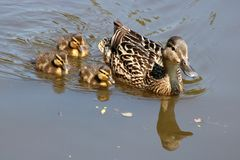 Female Mallard with three ducklings on water. SIngle female mallard, anas platyrhynchos, duck on a canal with three ducklings and reflections in the water Stock Photos