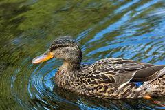Female Mallard Wading in Lake Royalty Free Stock Image