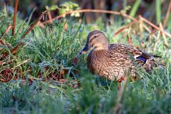 Female Mallard walking through dew laden grass. At Weir Wood reservoir Stock Photography