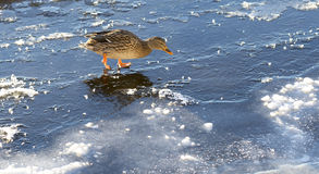 Female Mallard Walking on Thin Ice. Mallard Walking on Thin Ice  in winter Stock Photography