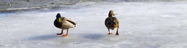 Female mallard watching two male ducks fighting over food on mel Royalty Free Stock Image