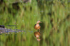 Female Mallard Water Reflection. A lone female mallards reflections while standing at a swamps bank Royalty Free Stock Photography