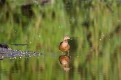 Female Mallard Water Reflection. Royalty Free Stock Photography
