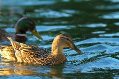 Female mallard on water surface. Female mallard duck swimming on water surface ( Anas platyrhynchos Stock Photo