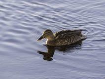 Female Mallard in Water Stock Photos