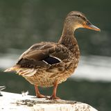 Female mallard on a white boat Stock Photos