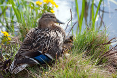 Wild Duck (Anas platyrhynchos), female. The female Mallard or Wild Duck (Anas platyrhynchos) is a dabbling duck, here with twelve ducklings under her plumage in Stock Images