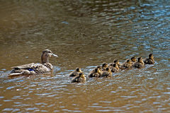 Wild Duck (Anas platyrhynchos), female with her twelve ducklings Royalty Free Stock Photo
