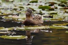 Female Mallard. Or Wild duck (Anas platyrhynchos) swimming on pond Royalty Free Stock Images