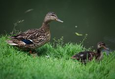 Female Mallard or Wild Duck with a duckling. On the shore Stock Image