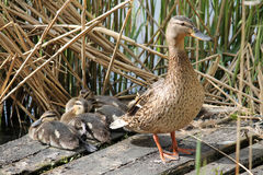 Female mallard or wild duck with ducklings Royalty Free Stock Image