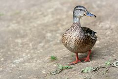 Female Mallard, wild duck shooting outdoors. Female Mallard. Mallard , wild duck shooting outdoors Stock Photography